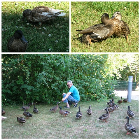 Collage Enten 2